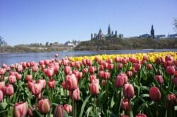 Itinerary for Tulip Festival Getaway to Ottawa